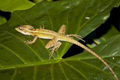 Basilisco femminile a strisce (Jesus Christ Lizard)  Immagini Stock
