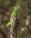 Basilisco, Jesus Christ Lizard Imágenes de archivo libres de regalías