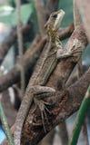 Basilisco Jesus Christ Lizard de Brown Foto de archivo libre de regalías