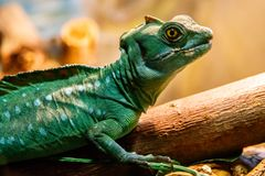 Basilisco protegido com capacete do lagarto bonito, Basiliscus Plumed, Basilscus foto de stock