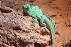 Basilisco verde Fotografie Stock