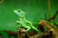 Basilisco verde Foto de archivo libre de regalías