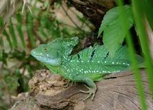 Basilisco verde smeraldo Fotografia Stock Libera da Diritti