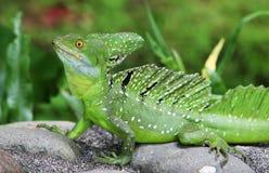 Basilisco verde smeraldo fotografia stock