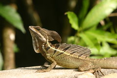 Basiliscus. In the wild in costa rica Stock Photo