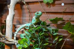 Basiliscus basiliscus, Basiliscus plumifrons sitting on a tree branch. royalty free stock photo