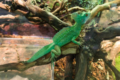 Basiliscus basiliscus, Basilisk lizard, Basiliscus plumifrons Royalty Free Stock Photography