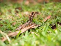 Basiliscus basiliscus Lizard Royalty Free Stock Photos