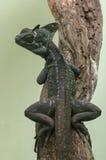 basiliscus jaszczurka zdjęcia stock