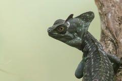basiliscus jaszczurka obraz royalty free