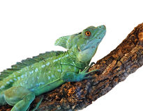 Basiliscus plumifrons. In front of a white background Royalty Free Stock Photography