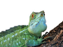 Basiliscus plumifrons. In front of a white background Stock Photos