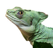 Basiliscus plumifrons Royalty Free Stock Photo