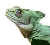 Basiliscus plumifrons Royalty Free Stock Photo