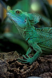 Basiliscus plumifrons Royalty-vrije Stock Afbeelding