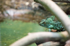 Basiliscus plumifrons - Green crested basilisk Stock Photos