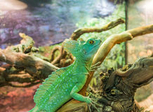 Basiliscus plumifrons. Basiliscus basiliscus, Jesus Lizard, Basilisk lizard, Basiliscus plumifrons. Basilisk plumifrons in the terrarium. Exotic lizard on Stock Image