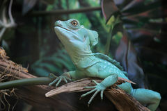 Basiliscus plumifrons in jungle Royalty Free Stock Photography