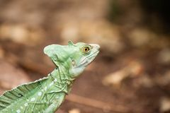 Basilisk Royalty Free Stock Photo