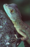 Basilisk. Portrait royalty free stock images
