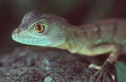 Basilisk. Portrait stock photo