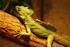 Basilisk on the branch Royalty Free Stock Images