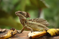 Basilisk, casque head lizard, helmeted lizard. A lizard found in a jungle in costa rica Royalty Free Stock Images