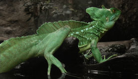 Basilisk. Green Basilisk in the water Stock Photography