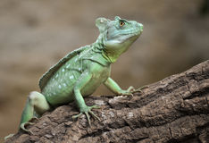 Basilisk Royalty Free Stock Photography