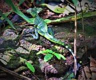 Basilisk het stellen in het Nationale Park van Tortuguero, Costa Rica stock fotografie