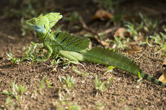 Basilisk Jesus Christ Lizard Arkivfoto