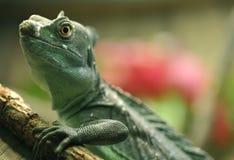 Basilisk or jesus christ lizard,costa rica Royalty Free Stock Image