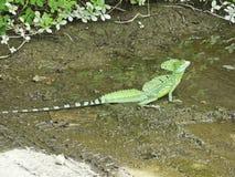 Basilisk jungle reptille royalty free stock photography