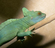 Basilisk lizard Royalty Free Stock Photography