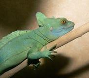 Basilisk lizard Royalty Free Stock Photography