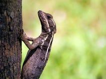 Basilisk lizard Stock Image