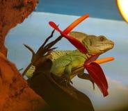 Basilisk,  lizard Royalty Free Stock Image