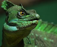 Basilisk Lizard Royalty Free Stock Photos