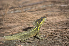 Basilisk Lizard on pine straw with bright yellow stripes and crest Royalty Free Stock Images