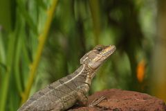 Basilisk lizard on a rock, Costa Rica stock image