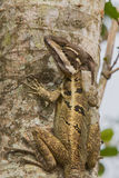 Basilisk Lizard Stock Photos