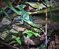 Basilisk posing in Tortuguero National Park, Costa Rica. stock photography