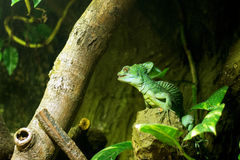 Basilisk sitting on tree Royalty Free Stock Photo