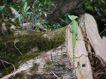 Basilisk sitting on a trunk stock photos
