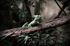 Basilisk on wooden branch Royalty Free Stock Photography