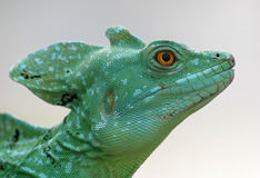 Basilisk2 Royalty Free Stock Image