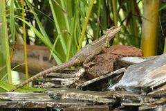 Basiliskhagedis die een rots, Costa Rica beklimmen Stock Fotografie