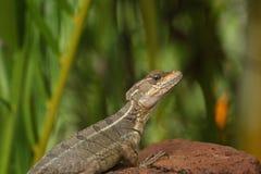 Basiliskhagedis op een rots, Costa Rica Stock Afbeelding