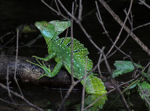 Basiliscus plumifrons - Jesus crist lizard Royalty Free Stock Photography