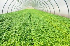 basilu glasshouse greenery dorośnięcie Fotografia Royalty Free